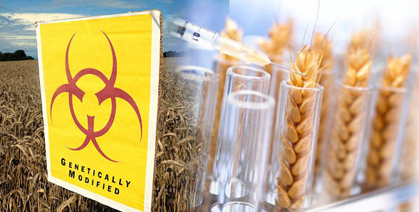 Studies Show that GMO wheat can silence or even permanently damage human genes