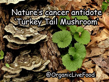 Nature's cancer antidote 'Turkey Tail Mushroom' and how giant Pharmaceutical and drug companies are exploiting the science of natural and herbal medicine