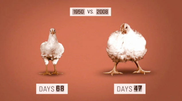 5 Perbedaan Ayam Kampung Dan Ayam Negeri, Mana Lebih Baik?